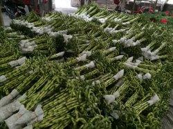 Dracaena Sanderiana Innenblumen-Pflanzenbonsais-Spirale-glückliche Bambusdekoration