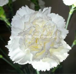 Замечательные подарки свежие цветы белой Carnation резки для интерьера