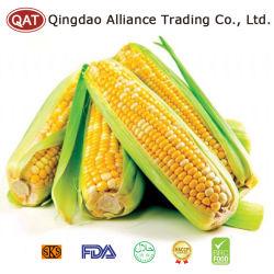 Dulce IQF mazorcas de maíz con alta calidad