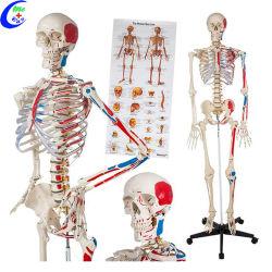 El modelo médico anatómico humano Anatomía del esqueleto modelo médico modelo