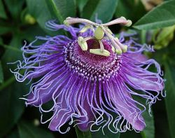 Passiflora воплощенную выдержка 4% Flavones