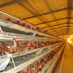 Ligne d'alimentation de poulets de chair avec l'équipement agricole automatique dans la structure en acier préfabriqués chambre