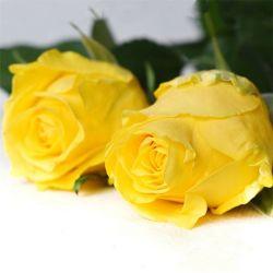 Flores frescas de calidad Premium Golden Gate para la boda, regalo y decoración.