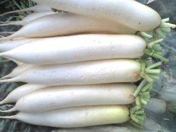 Blanco fresco orgánico Redish chino
