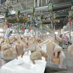 500-2000bph pollame Abattoir Duck macello attrezzature macello