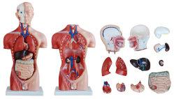 T1006m torso humano masculino