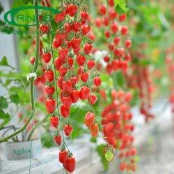 Commercieel NFT verticaal stedelijk systeem van de hydroponica van kersen tomatentomaten in serre