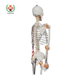 Sy-N021 de l'équipement d'enseignement médical avancé Anatomie squelette humain modèle PVC