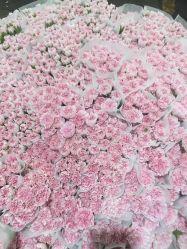 Hot de fleurs coupées fraîches de Kunming fleur rose pour la décoration de CARNATION