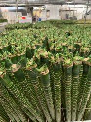 Dragon Lucky Bamboo Dracaena Sanderiana Flor de la planta de interior