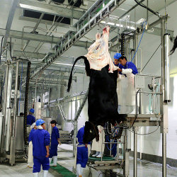 Halal Kuh-Schlachtlinie für die Angus-Fleischverarbeitung im Vieh-Schlachthof