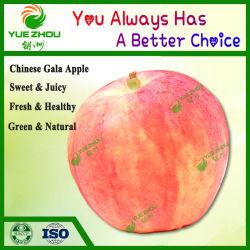 Fornecedor de Gala de maçã Natural Apple para venda com bom preço