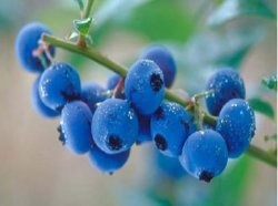 BilberryのエキスCAS No.: 84082-34-8 Vaccinium Myrtillus L.