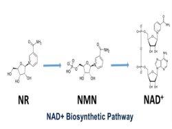 ベータニコチン酸アミドのモノヌクレオチドのバルク粉健全なDNA修理は中心の食糧食餌療法の補足のAntiage 98% Nmnの食品添加物を保護する