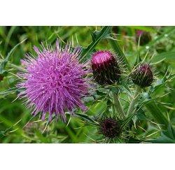 100% حليب طبيعي Thistle Seed Extract سيليمارين Silybin 80% Medicinal الأعشاب