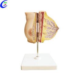 De medische Vrouwelijke Modellen van het Onderwijs van de Borst Anatomische
