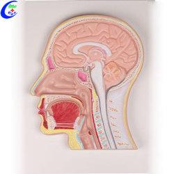 Modello di plastica medico della testa umana