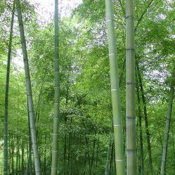 Мао Чжу Чжун Zi горячая продажа высокой чистоты китайский бамбук семян