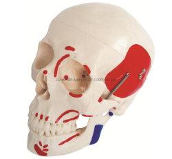هيكل بالحجم الطبيعي مع عضلات مطلية