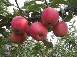 La santé de la nourriture pour les pommes fraîches Qin Guan