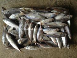 Ojo grande Scard Congelado Pescado jurel (Japonés)