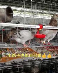 Le plus avancé de l'équipement de Pigeon de la cage