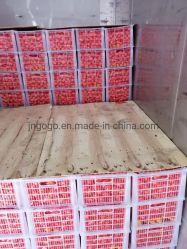 Экспорт Китая свежие пупка оранжевого цвета (S M L)