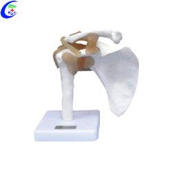 Medical Anatomía Humana con los modelos de ligamento común para la enseñanza