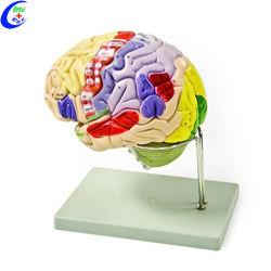 Menschliches Plastikhirn 3D Modell