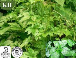Gynostemma Pentaphyllum Auszug Gynostemma Tee-Teebeutel