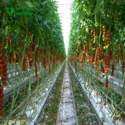 Cultivo soilless del sistema de cultivo hidropónico de paja de coco la siembra en invernadero