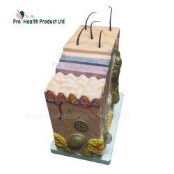 В 50 раз увеличить биологические медицинские человеческой кожи модель образования