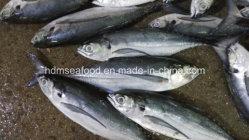 25cm+Grandes Hardtail charro preto peixe congelado