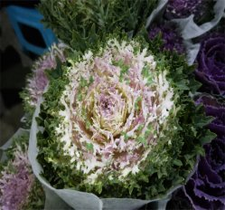 Beau bouquet floral blanc fleurs coupées fraîches Rip Chou Brassica
