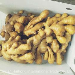 Chinesische Shandong-Produkt-frischer an der Luft getrockneter trockener Ingwer-frischer Ingwer