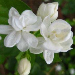Chinês confiável o padrão de alimentação a venda de carne fresca de folhas de corte Jasmine Flower para decoração