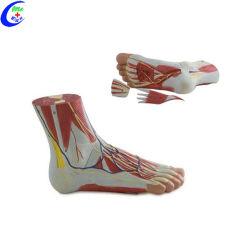 プラスチック解剖学的フットモデル
