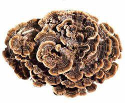 100% naturel Coriolus versicolor P. E. Coriolus polysaccharide extrait de champignons
