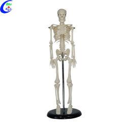 Torso humano Anatomía del esqueleto modelo