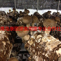 Shiitake Mushroom Logs (spawn) япония