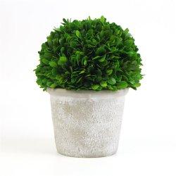 2019 Sunwing nuevo diseño de color verde 7.75''Dia LiofilizadoBoj Plantas en maceta