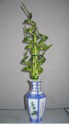 DracaenaのSanderianaの幸運なタケ螺線形のタケホーム装飾の屋内プラント花