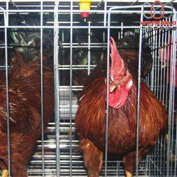 Ботсвана птицеводства тип слоя заводчика куриных клеток с 120 птиц с автоматической подачи машины