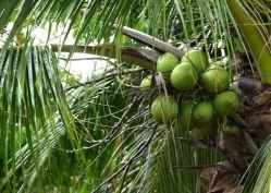 天然植物エキスココナッツウォーター SD パウダーエキスハーブハーブハーブ