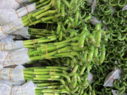 드라카나 산더리아나 럭키 대나무 꽃 그린 30cm - 100cm