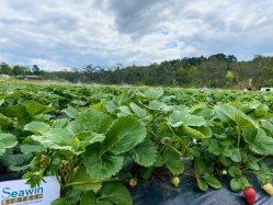 100% água solúvel algas extrato orgânico fertilizante pode Meliorate solo Para plantas