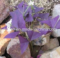 Extrait de racine de haute qualité Lithospermum / extrait de racine Shikonin Gromwell -