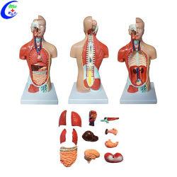 인간 해부학적 이중 성별 Torso 모델