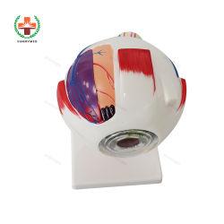 SY-N023 眼科医療教育モデル解剖学的ヒト眼球 モデル