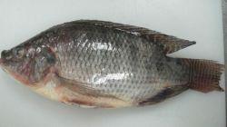 Noir Rouge Tilapia (Oreochromis niloticus 300-500G) de l'usine chinoise